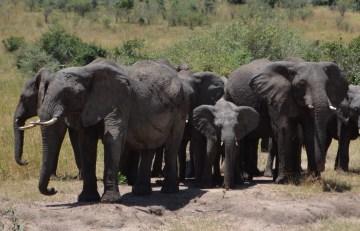 Elephants Protect the Herd