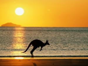 australia vacation spots kangaroo