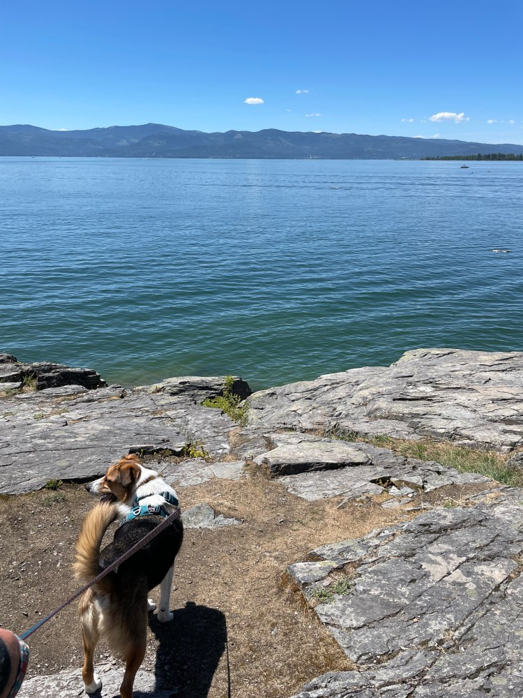 dog looking out over flathead lake, montana