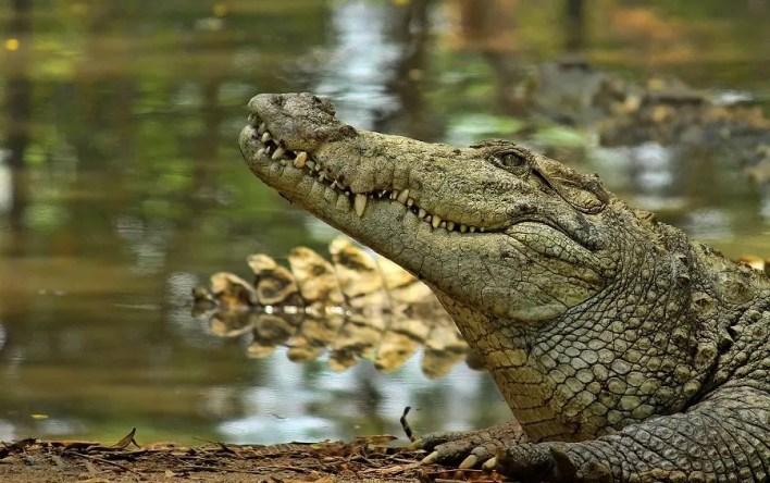 India Crocodile