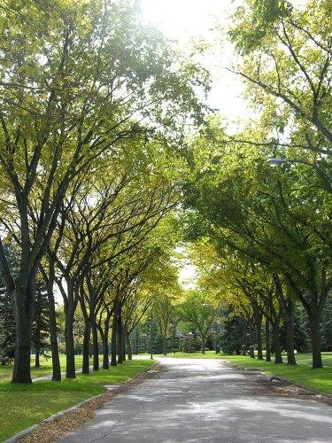 Winnipeg elms