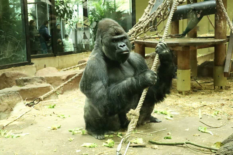 gorilla Artis