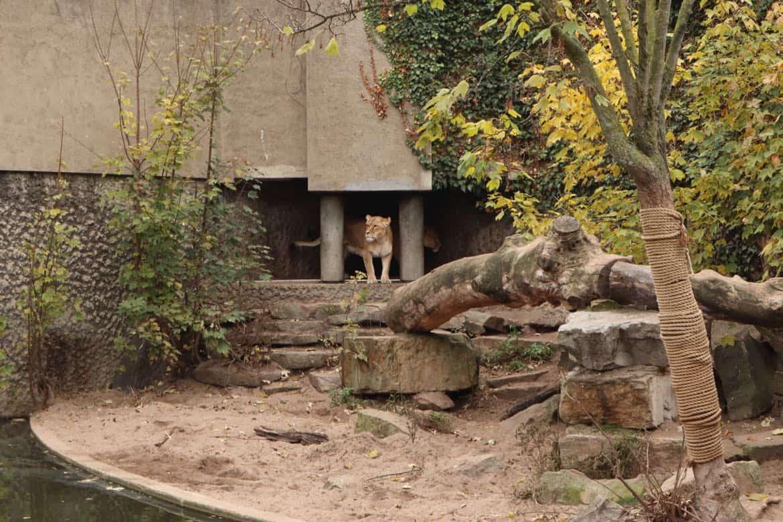 Artis Zoo lion
