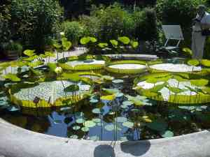 Giant water lily blooms only at night at Amsterdam botanical gardens