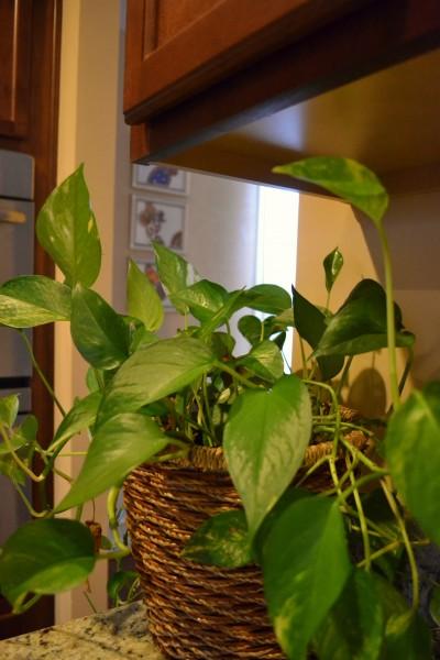 pothos, Indoor Plants