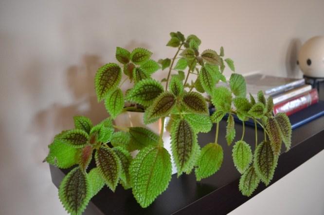 friendship plant, Indoor Plants