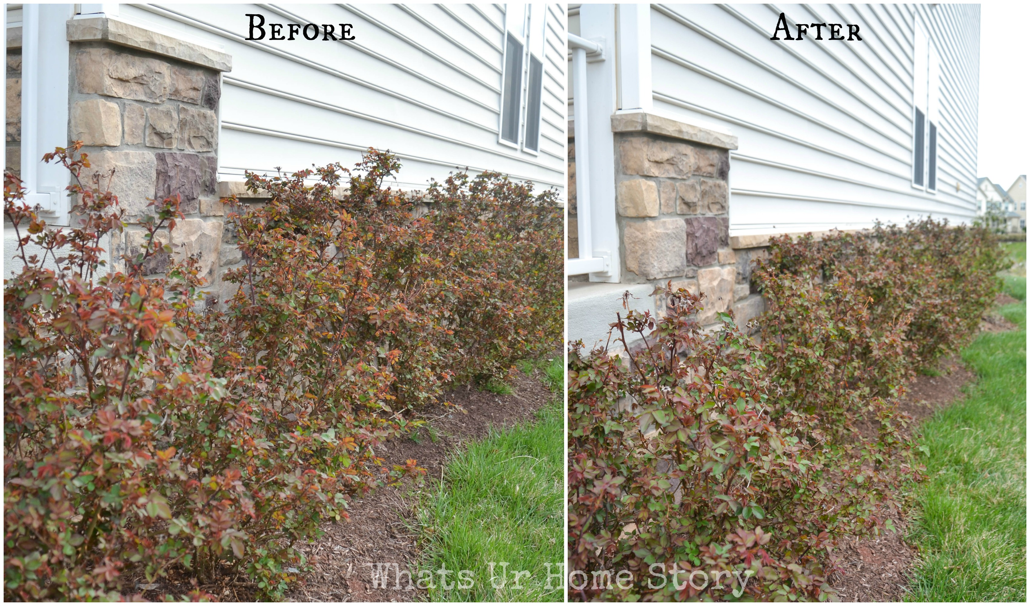 Roses In Garden: Pruning Knockout Roses