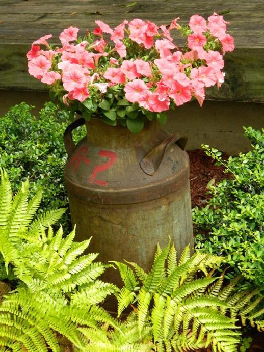 petunias in a milk can, country garden