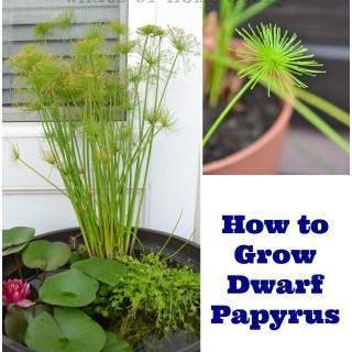 How to Grow Dwarf Papyrus
