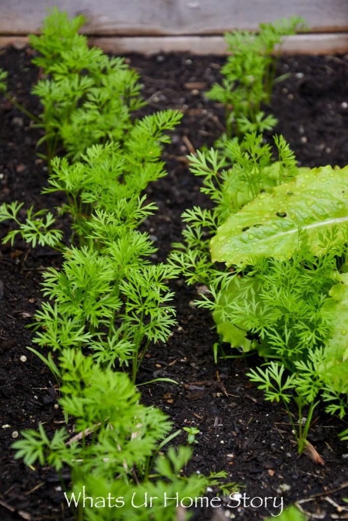 Carrot seedlings in a vegetable garden bed