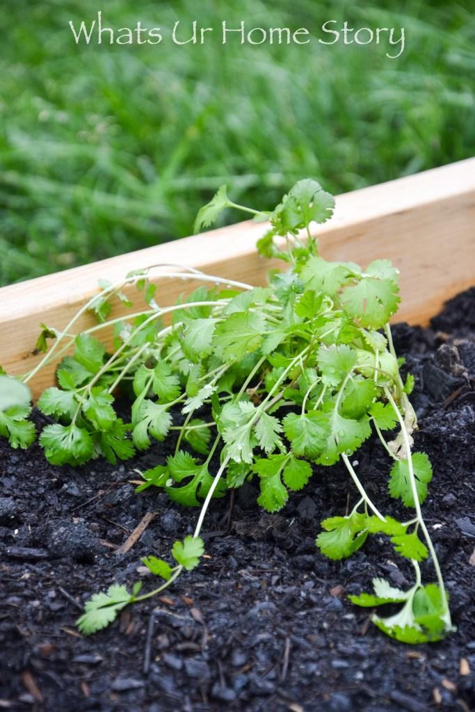 Cilantro in a vegetable garden bed