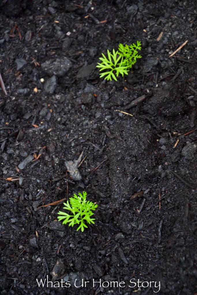 Transplanting carrot seedlings in a vegetable garden bed