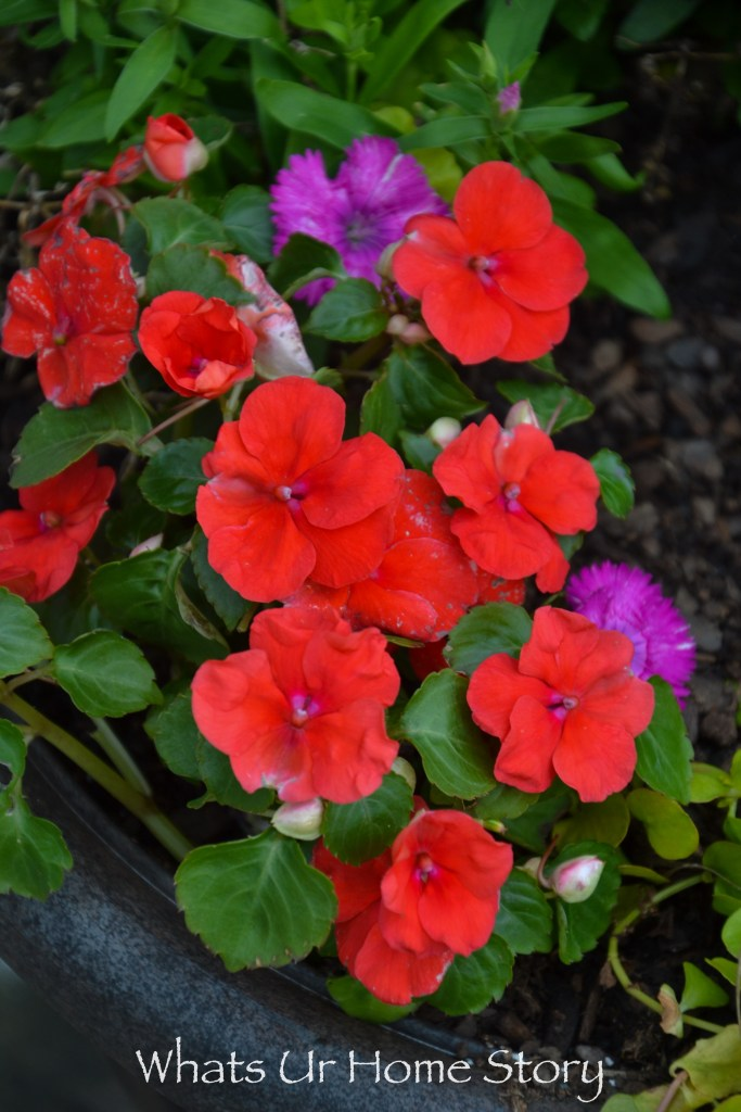 front yard bed-impatiens or touch me not flowers
