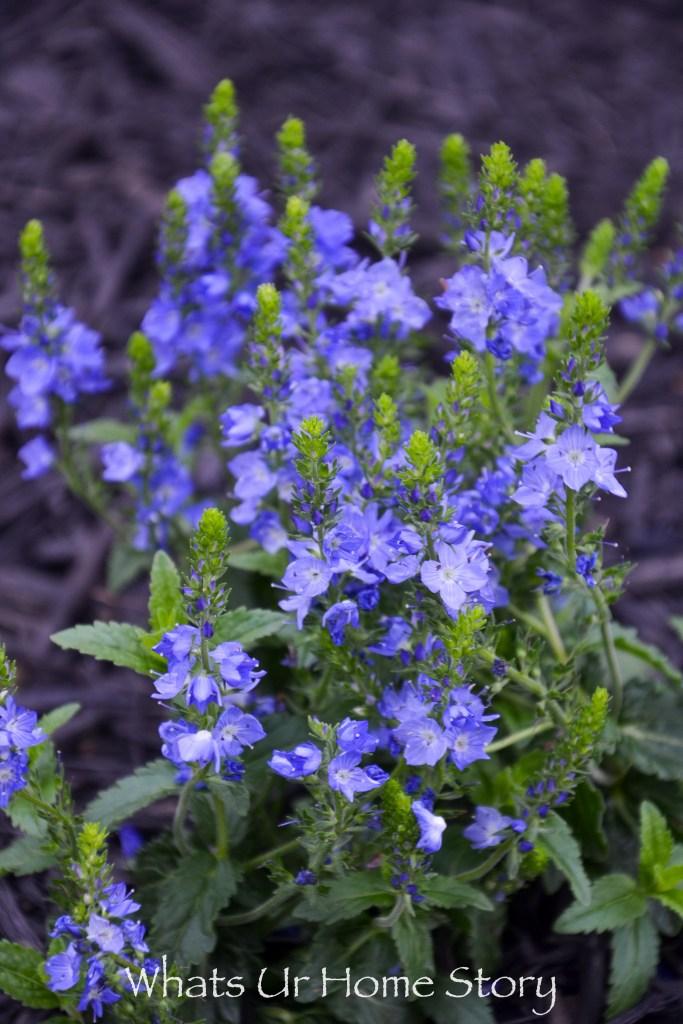 venice blue speedwell