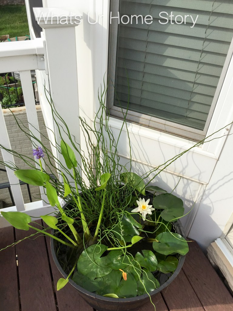 Make a water garden on your deck with Cream water lily, Pickerel Rush, and Big Twister Rush or the Giant Corkscrew
