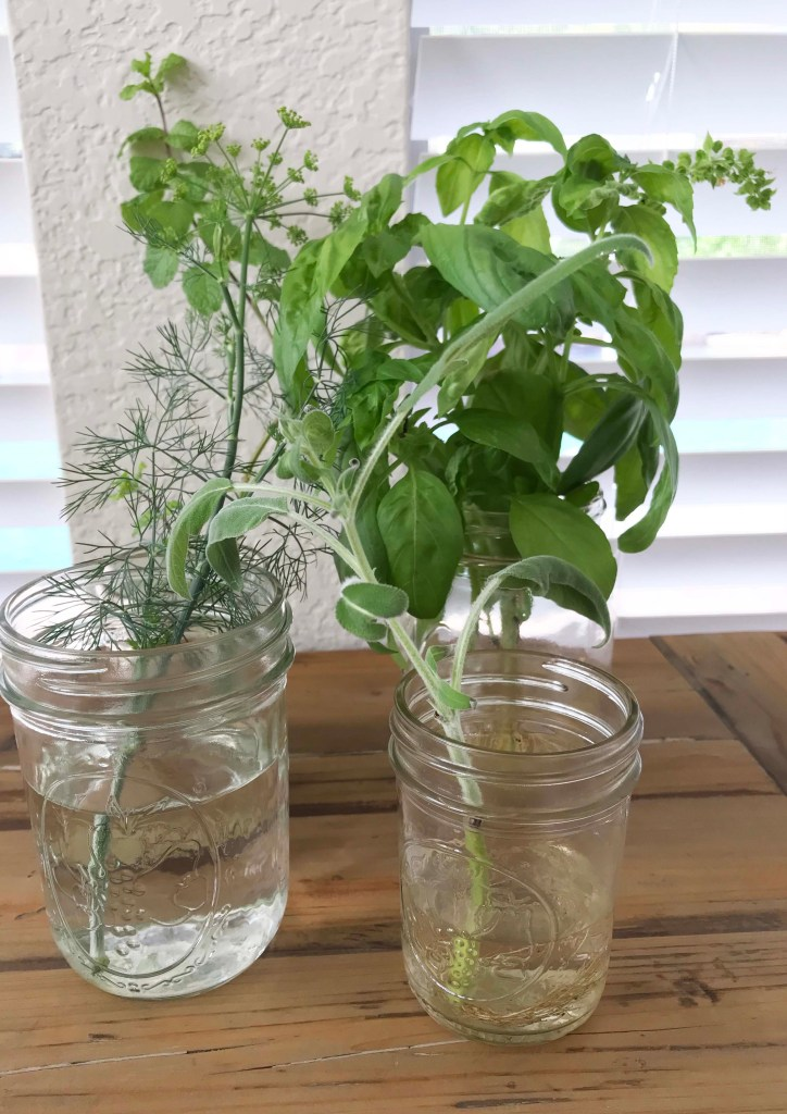 fresh herbs grown indoors, sage, dill, mint, basil