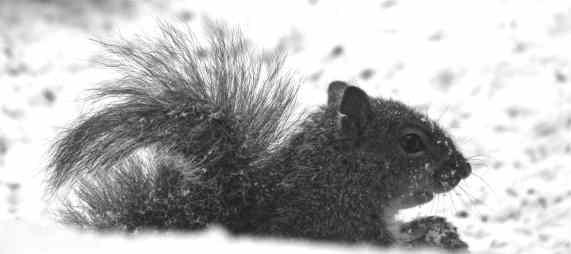 SnowSquirrel2