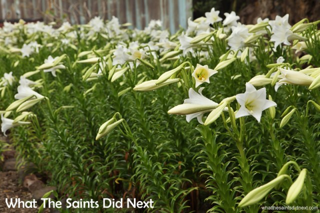 The plants are all flowering in time for the Christmas demand. The smell of Christmas on St Helena.