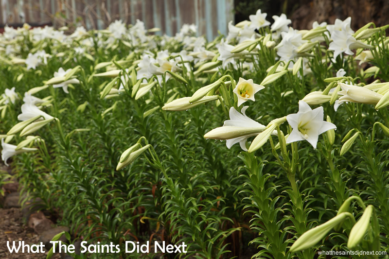 Alex's lily garden. The plants are all flowering in time for the Christmas demand bringing that Christmas smell to St Helena.