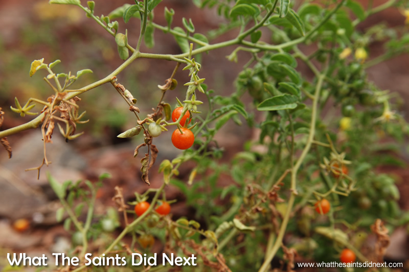 Wild tomato bushes can be found on one part of the walk.