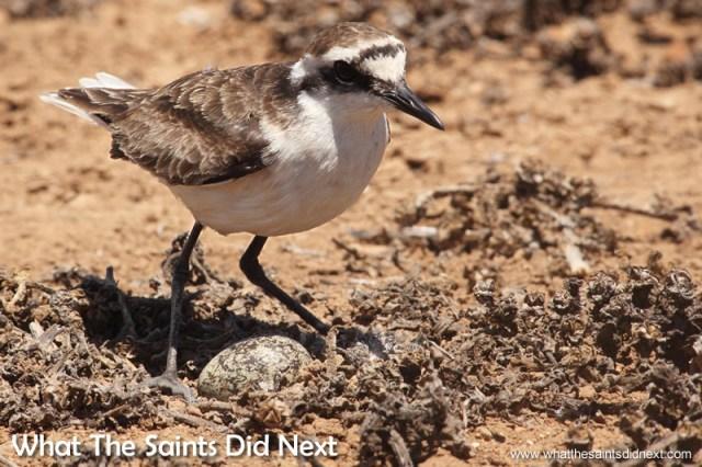 Wirebird guarding a nest.