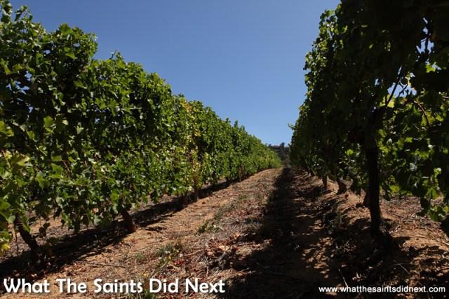 The vineyards of Groot Constantia.
