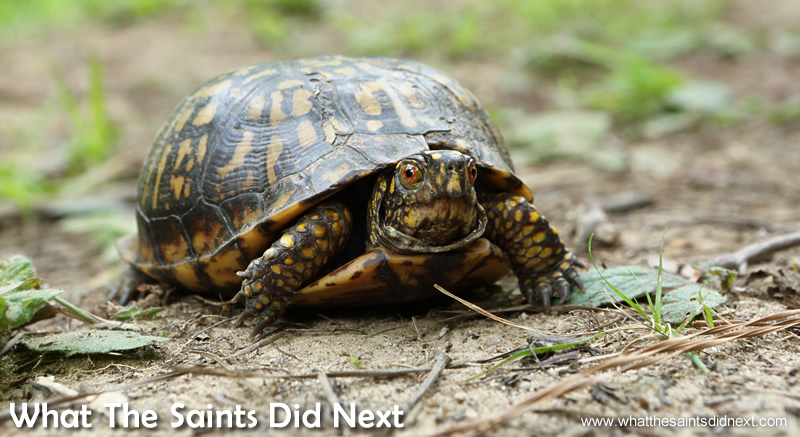 Almost stepped on this little fella! Hard not to miss; red eyes and bright orange markings of an Eastern Box Turtle.