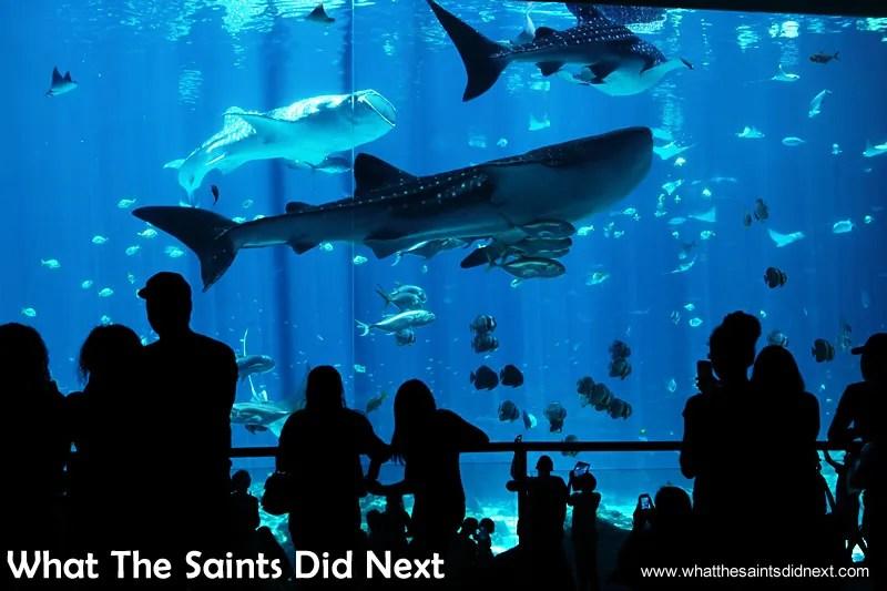 Three of the aquarium Atlanta GA giant whale sharks grabbing the attention of visitors.