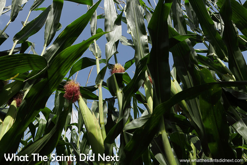 America produces a third of the world's corn grain.