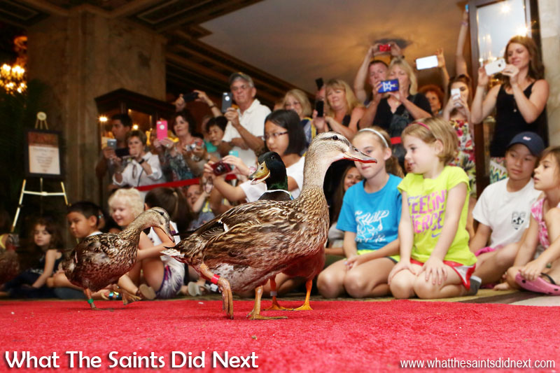 Peabody Hotel Memphis Ducks - The march is underway and the ducks perform like true professionals.