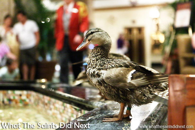Marching Peabody Ducks in Memphis - March of the Peabody Ducks at the Peabody Hotel fountain, completely at ease with all the people crowding around to take pictures.