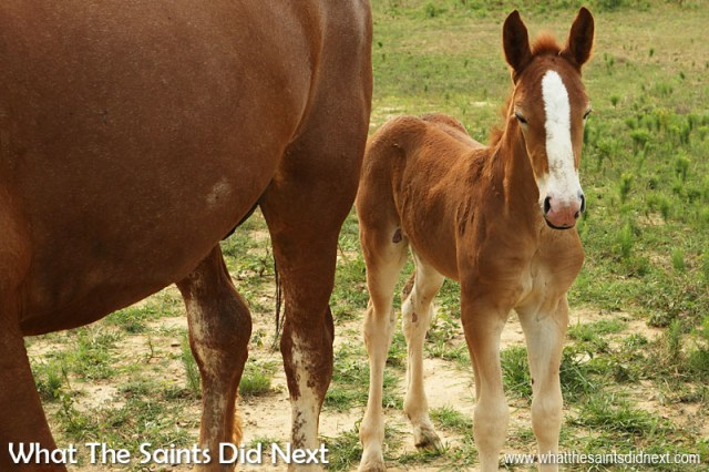 Fancy Farm, Kentucky. This four day old Clydesdale colt was curious but still just a little too nervous to come closer - but very adorable hiding behind his mother.