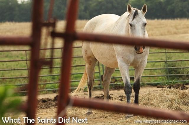 More horses at Fancy Farm, Kentucky.