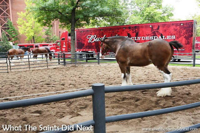 Anheuser-Busch owns 170 Clydesdale horses and have three travelling hitches, each consisting of 8 horses. Each horse gets a custom-made collar.  The Budweiser Brewery tour St Louis.