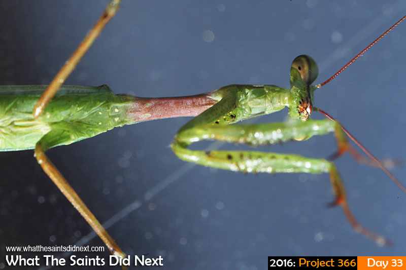 'Dayshift starts'<br /> 2 Feb 2016, 07:40 - 1/125, f/13, ISO-200 + flash<br /> Praying Mantis insect