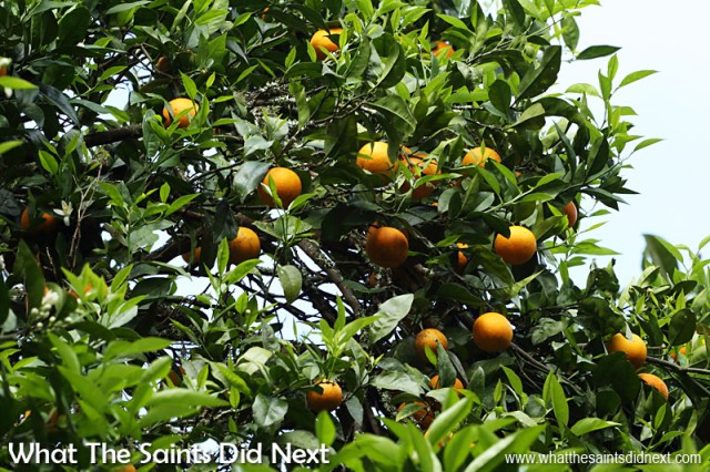 Oranges on a tree overhanging the road in Sandy Bay.