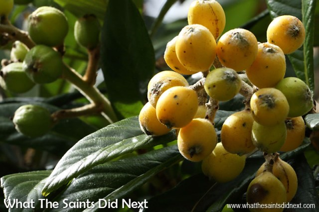My favourite fruit that grows wild on St Helena, the delicious loquats. These are found in great numbers around Sandy Bay.