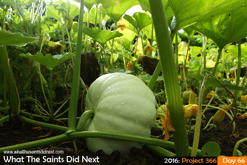 'Mother's Day' 6 March 2016, 16:41 - 1/100, f/10, ISO-200 What The Saints Did Next - 2016 Project 366 Pumpkin growing in a home garden at Kunjie Field, St Helena.