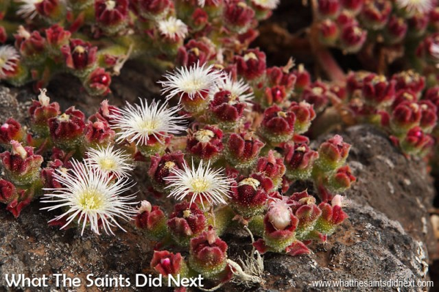 The ice-plant thrives across the top of the Barn where the dry, barren terrain is an ideal habitat for it.