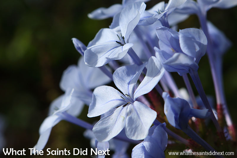 St Helena flowers. The 'Cape leadwort' - Plumbago auriculata Photographed in April 2016, growing in Alarm Forest as part of a wild hedge.