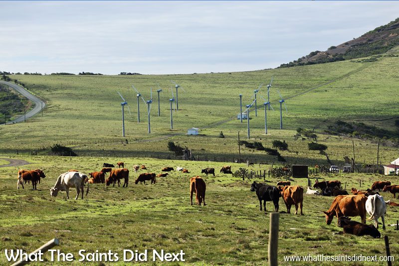 Cattle and wind turbines on Deadwood Plain. The track leading through the turbines and up the hill to the right leads to Flagstaff, one of the easiest postbox walks on St Helena.