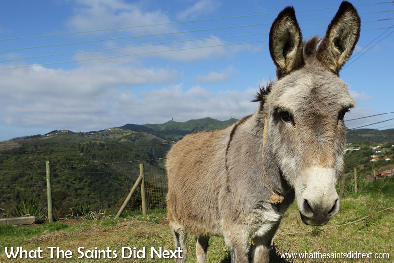 A friendly donkey near Longwood Hangings. Diana's Peak can be seen in the distance, highest point on St Helena.