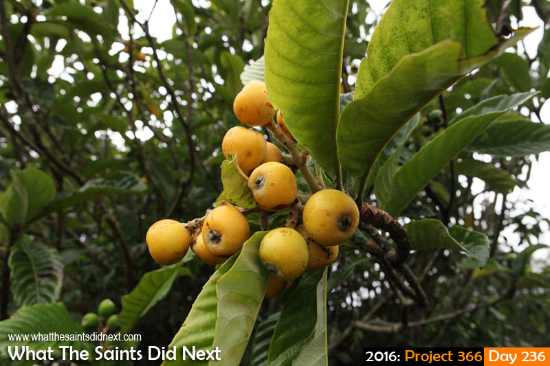 'Arms'<br /> 23 August, 2016, 16:37 - 1/250, f9, ISO-400<br /> Loquat fruit in season at Kunjie Field.