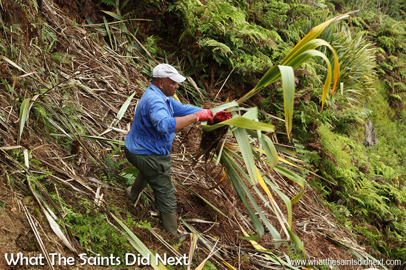 Conservation team member, William Crowie, clearing the hillside of flax. Diana's Peak National Park, St Helena Island.