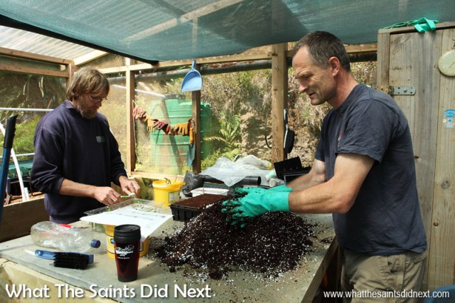 """Lourens Malan (left) is the project manager of a two-year Darwin-Plus funded project """"Securing St Helena's cloud forest trees & associated invertebrates."""" Here working on creating new seed orchards with fellow ecologist, Andrew Darlow, in the Diana's Peak National Park nursery."""