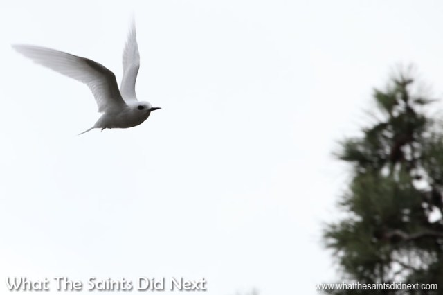 A high speed, low level pass - the white terns are much more difficult to focus and frame at speed, it means tracking and shooting simultaneously to get a sharp image, although any background content will then be blurred. Photographing white terns (gygis alba) on St Helena.