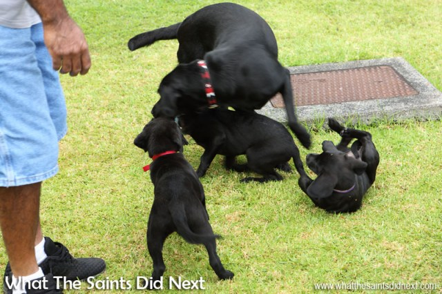 Re-united for the first time, Dusty quickly lets the pups know who's boss. New Dogs, Old Tricks - Dusty's Dozen.