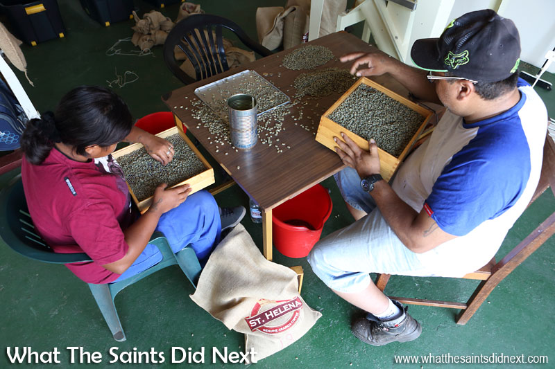 After the machine has finished the final rounds of sorting is done by hand. St Helena Coffee by Solomon & Co.