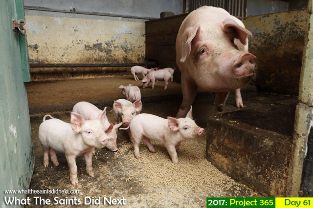 'Reversal' 2 March 2017, 10:40 - 1/200, f5.6, ISO-500 What The Saints Did Next - 2017 Project 365 Pigs at the Farm Buildings pens.