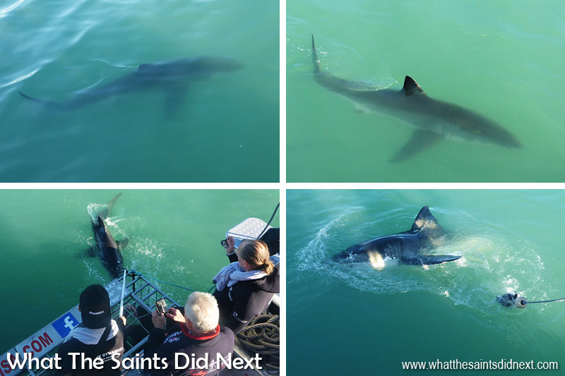 Cage diving with Great White sharks is better from May to August so easily one of the most adventurous things to do in Cape Town.